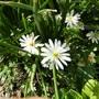 Anemone blanda (Anemone Blanda White)