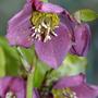 Hellebore again (Helleborus orientalis (Lenten rose))