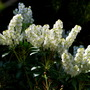 Pieris in the sun..... (Pieris japonica Debutante)