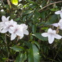 Mackaya bella - Forest Bell Bush (Mackaya bella - Forest Bell Bush)
