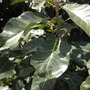 Ficus lutea (nekbudu) - Zulu Fig Leaves (Ficus lutea (nekbudu) - Zulu Fig Leaves)