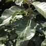 Ficus lutea (nekbudu) - Zulu Fig Leaves (Ficus lutea (nekbudu) - Zulu Fig Leaves)