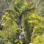 Caryota gigas - Giant Thai Fishtail Palm at San Diego Zoo (Caryota gigas - Giant Thai Fishtail Palm)