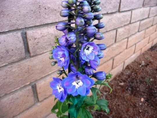 Spring has sprung (Delphinium elatum (Delphinium))