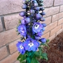 Spring has sprung (Delphinium elatum (Delphinium))