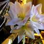 Amaryllis: San Remo 2 (Hippeastrum papilio (Butterfly amaryllis))