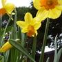 JET FIRE - Daffodils