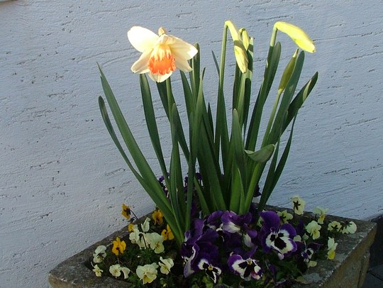 narcissus pansy`s and viola`s