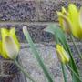 TULIP ILLENSIS (Tulipa iliensis)
