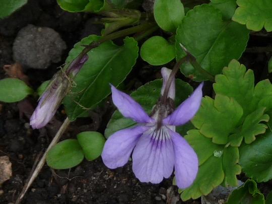 Violet (Viola canina (Dog Violet))