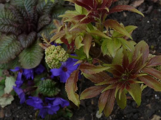 Sambucus...Sutherland's gold (Sambucus racemosa (Red-berried elder))
