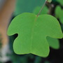 Tulip Tree leaf.......Most unusual leaves, growing very fast....... (Liriodendron tulipifera (Tulip tree))