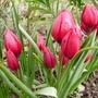 T.Lilliput (Tulipa humilis (Tulip))