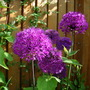 A garden flower photo (Allium hollandicum (Ornamental onion))