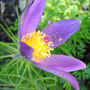 A garden flower photo (Pulsatilla Vulgaris (Blue, Red and White vars))