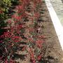 Dwarf Euphorbia millii - Dwarf Crown-of-thorns (Dwarf Euphorbia millii - Dwarf Crown-of-thorns)