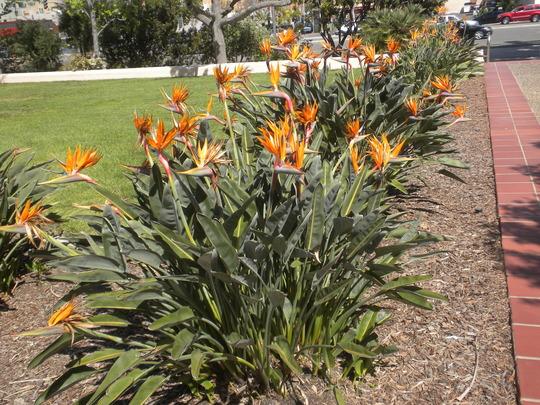 Strelitzia reginae - Bird-of-Paradise at San Diego County Building  (Strelitzia reginae - Bird-of-Paradise)