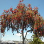 Callistemon viminalis - Weeping Bottle Brush (Callistemon viminalis - Weeping Bottle Brush)