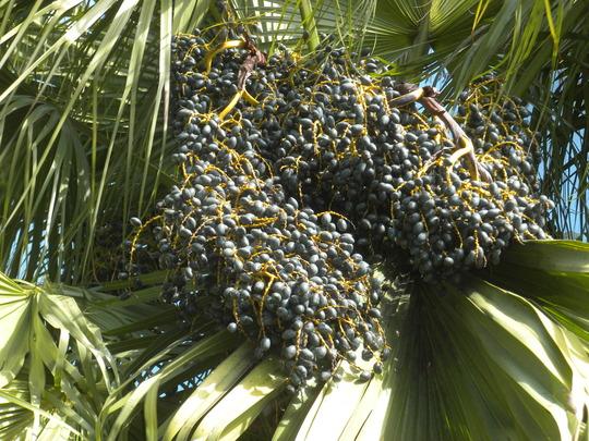 Livistona chinensis - Chinese Fountain Palm Seeds (Livistona chinensis - Chinese Fountain Palm)