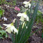 Daffodil moschatus (Narcissus moschatus (White Daffodil) moschatus)