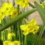 Daffodil Kokopellii (Narcissus jonquilla (Jonquil))