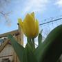Yellow Tulip (Tulipa)