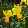 Minature Daffodils