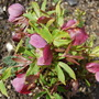 Helleborus, out at last!