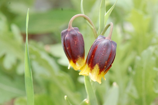 Fritillaria Michailovskyi (Fritillaria michailovskyi (Fritillary))
