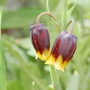 Fritillaria Michailovskyi (Fritillaria michailovskyi (Fritillary))