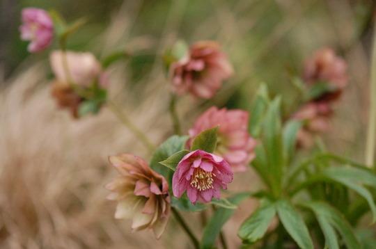 Hellebore 'Harvington Pink' (double) (Hellebore orientalis)