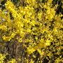 Forsythia intermedia 'Beatrix Farrand' (forsythia) (Forsythia intermedia (Forsythia))