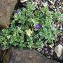 Aubretia Dr Mules variegata (Aubrieta Dr Mules Variegata)