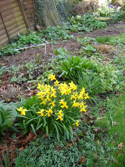 jetfire (Narcissus cyclamineus (Cyclamen-flowered daffodil))