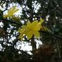 Jasmine_nudifolium_1.4.10