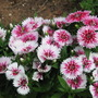 A garden flower photo (Dianthus deltoides (Dianthus Brillant))