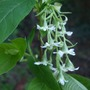 Oemleria cerasiformis (Indian Plum)