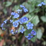 Brunnera flowers (Brunnera macrophylla)