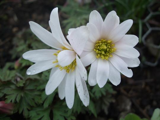 White Anemone blanda (Anemone blanda (white))