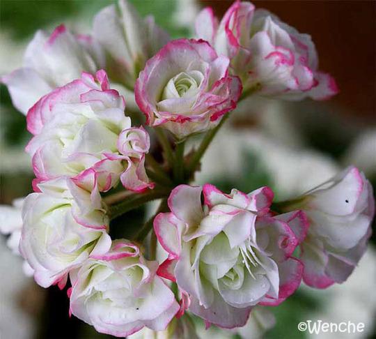 Westdale Appleblossom (Pelargonium 'Westdale Appleblossum')