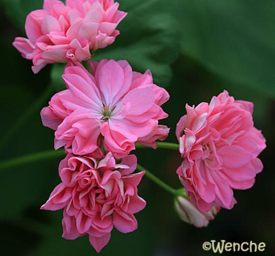 Tierpspella (Pelargonium 'Tierpspella')