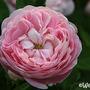 Heritage (Rosa 'Heritage')