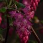 Ribes Sanguineum (Ribes sanguineum (Flowering currant))