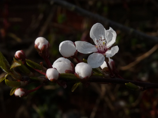 Cherry blossom (Prunus)