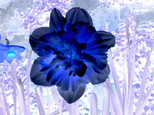 Hows this for wierd, A dafodill in ultra violet