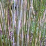 bloom_on_new_bamboo_shoots.jpg (Phyllostachys aurea (Golden Bamboo))