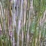 bloom_on_new_bamboo_shoots.jpg (Phyllostachys aurea (Golden Bamboo))