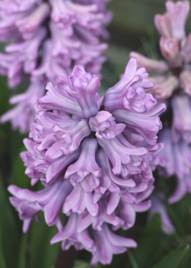 Hyacinth 'Splendid Cornelia' - April 2010