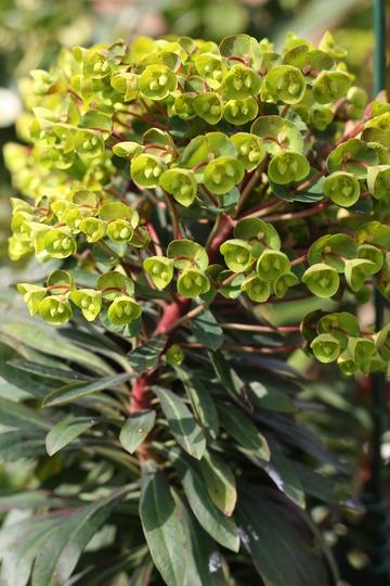 Euphorbia - April 2010