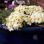 Primroses & Cyclamen in tub, still looking good. April 4th